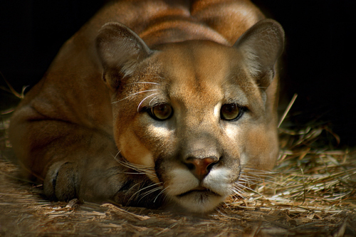 Endangered Species Cougar